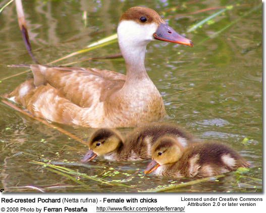 Red-crested Pochard female with chicks