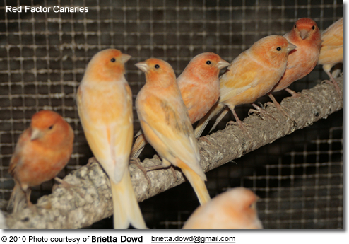 red factor canaries, showing how they interact with each other and the broad range of color their plumage comes in