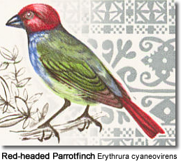 Red-headed Parrotfinch Erythrura cyaneovirens