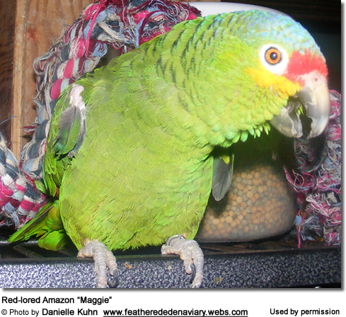 "Red-lored Amazon ""Maggie"""