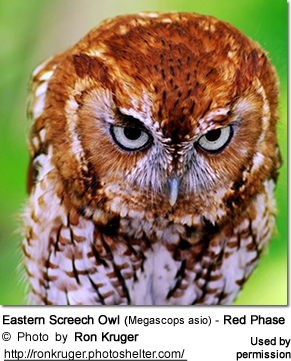 Eastern Screech Owl (Megascops asio) - Red Phase