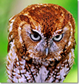 Red-phase Screech Owls