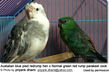 Austalian blue pied redrump hen x Normal green red rump parakeet cock