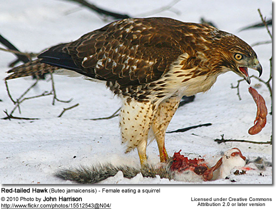 Red-tailed Hawk (Buteo jamaicensis) - Female eating a squirrel