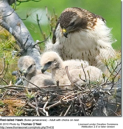 Red-tailed Hawk (Buteo jamaicensis) - Adult with chick