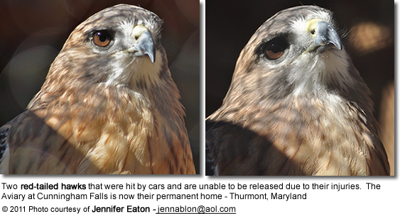 Two red-tailed hawks that were hit by cars and are unable to be released due to their injuries. The Aviary at Cunningham Falls is now their permanent home - Thurmont, Maryland