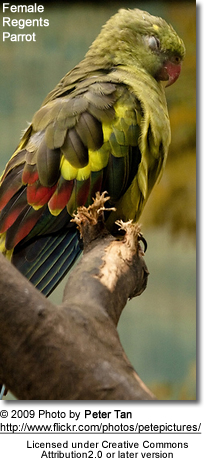 Female Regents Parrot