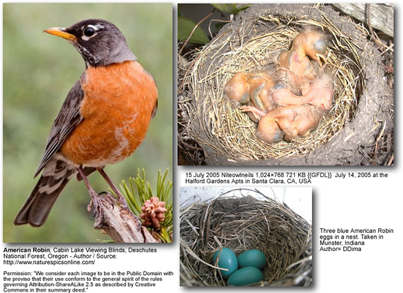 American Robins - Adults, Chicks and Eggs