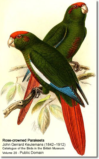 Rose-crowned Conures or Parakeets (Pyrrhura rhodocephala) - also known as Rose-headed Conures or Parakeets