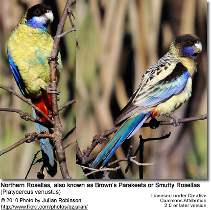 Northern Rosella (Platycercus venustus), also known as Brown's Parakeet or Smutty Rosella