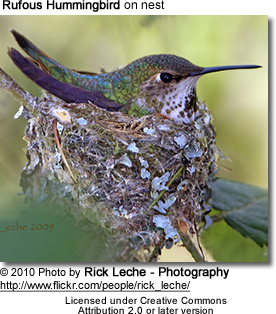 Rufous Hummingbird sitting on nest