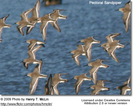 Pectoral Sandpipers - flying