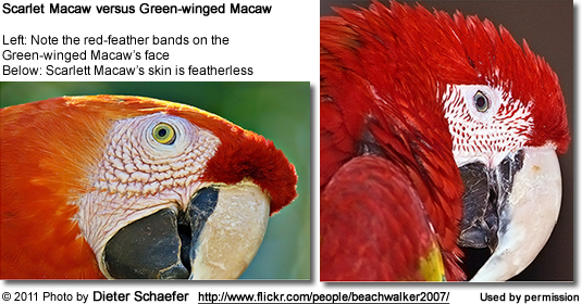 Scarlet-Macaw lacks the lines of red feathers around the eyes that can be seen in the Green-winged Macaw
