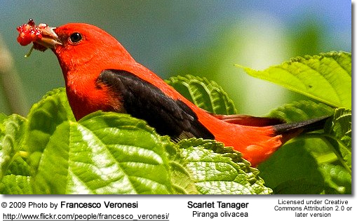 Image of: Cornell Lab The Scarlet Tanager Piranga Olivacea Was Formerly Placed In The Tanager Family thraupidae But Is Now Now Classified In The Cardinal Family Beauty Of Birds Scarlet Tanagers Beauty Of Birds