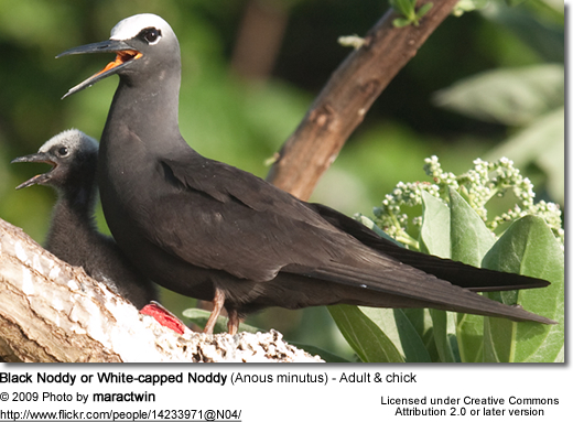 Black Noddy or White-capped Noddy (Anous minutus) - Adult and chick