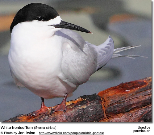 Black-fronted Tern (Chlidonias albostriatus ) also known as Sea Martin, Ploughboy, Inland Tern, Riverbed Tern or Tarapiroe