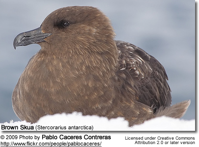 Brown Skua (Stercorarius antarctica), also known as the Antarctic Skua, Southern Great Skua, Southern Skua, or Hākoakoa (Māori)