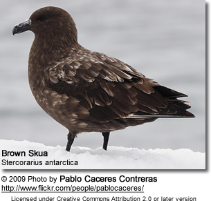 Brown Skua (Stercorarius antarctica), also known as the Antarctic Skua, Southern Great Skua, Southern Skua, or Hākoakoa
