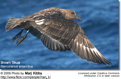 Brown Skua (Stercorarius antarctica), in flight