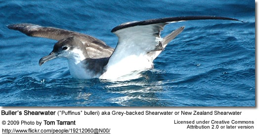 "Buller's Shearwater (""Puffinus"" bulleri) aka Grey-backed Shearwater or New Zealand Shearwater"