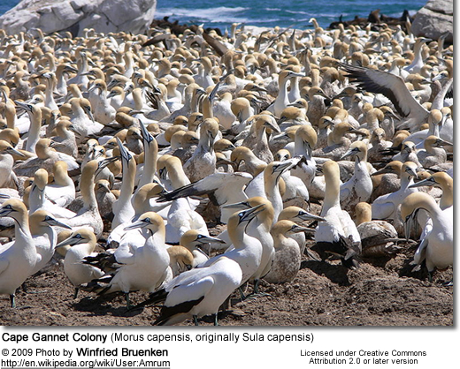 Cape Gannet Colony (Morus capensis, originally Sula capensis)