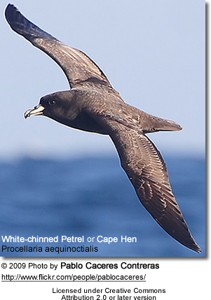 Cape Hen or White-chinned Petrel