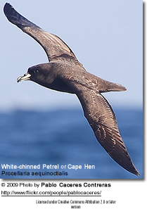 White-chinned Petrel or Cape Hen