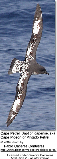 Cape Petrel, Daption capense, aka Cape Pigeon or Pintado Petrel