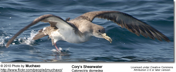 Cory's Shearwater (Calonectris diomedea)