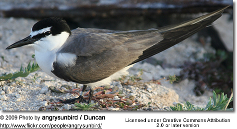 Grey-backed Tern, Onychoprion lunatus