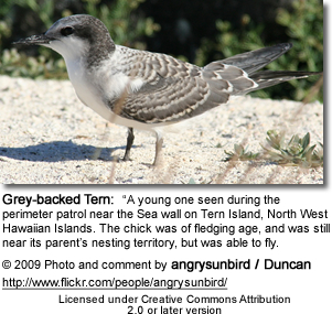 Immature Gray-backed Tern