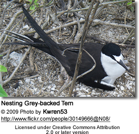 Nesting Grey-backed Tern
