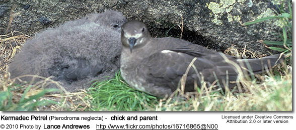 Kermadec Petrel (Pterodroma neglecta) - chick and parent