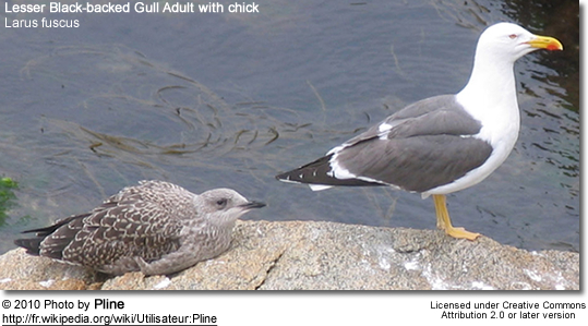 Lesser Black-backed Gull Adult with chick
