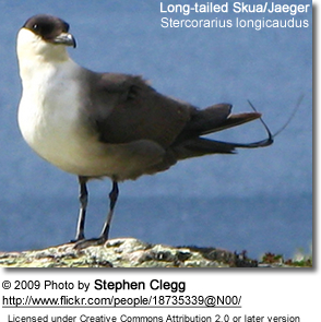Long-tailed Jaeger or Long-tailed Skua