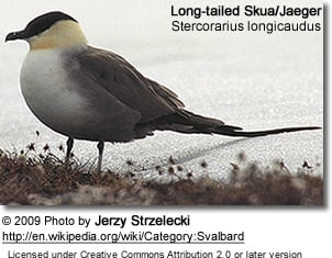 Long-tailed Jaeger, Stercorarius longicaudus, or Long-tailed Skua