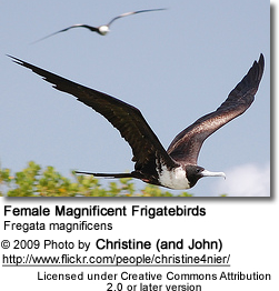 Female Magnificent Frigatebirds