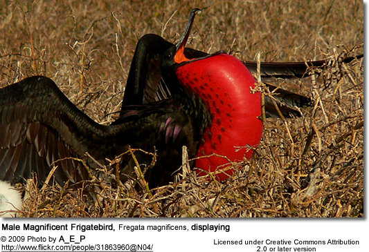 Male Magnificent Frigatebird, Fregata magnificens displaying
