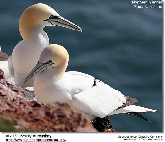Northern Gannet (Morus bassanus, formerly Sula bassana)