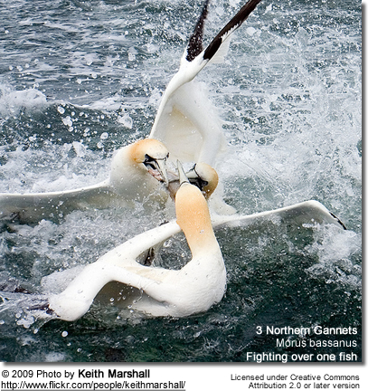 Northern Gannet (Morus bassanus, formerly Sula bassana