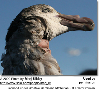 Northern Giant Petrel (Macronectes halli), also known as the Hall's Giant Petrel