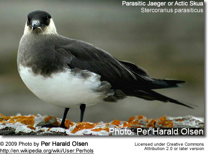 Parasitic Jaeger , Stercorarius parasiticus, known as the Arctic Skua - Light Phase