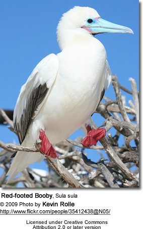 Red-footed Booby, Sula sula
