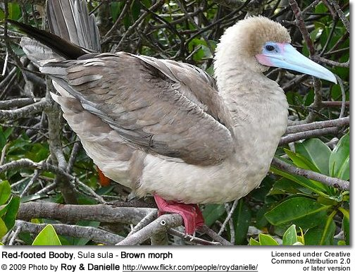 Red-footed Booby, Sula sula - Brown morph