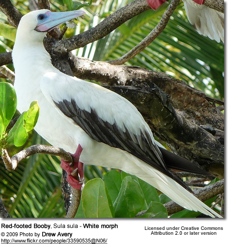 Red-footed Booby, Sula sula - White morph