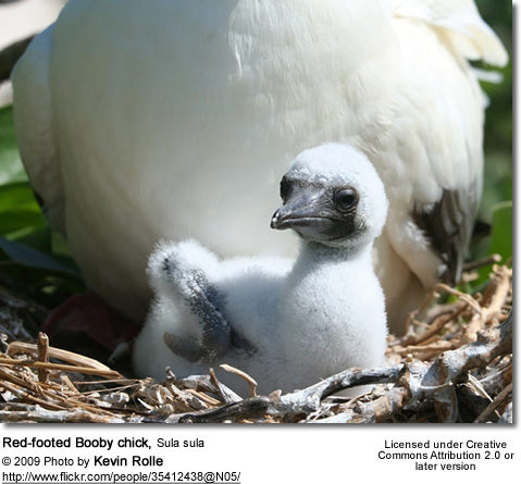 Red-footed Booby chick, Sula sula