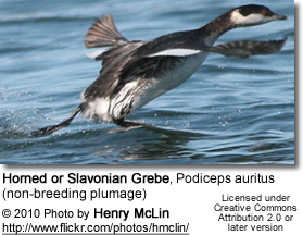Horned or Slavonian Grebe, Podiceps auritus (non-breeding plumage) taking off