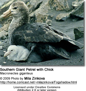 Southern Giant Petrel with Chicks