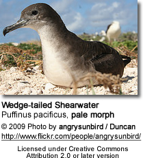 Wedge-tailed Shearwater - pale morph