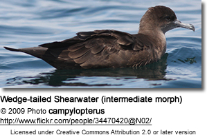 Wedge-tailed Shearwater (intermediate morph)